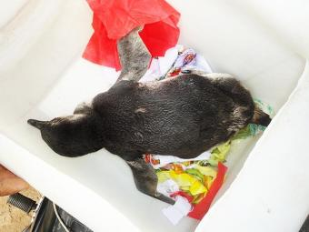 Ave será encaminhada aos cuidados do Centro de Triagem de Animais Silvestres (CETAS). - Foto: ONG Pró-Mar | Divulgação