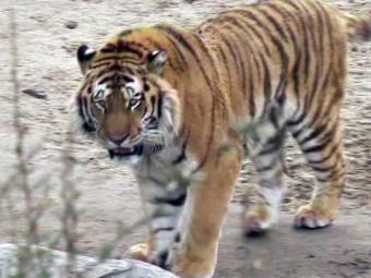 Tigre ataca e mata funcionária de zoológico em Colônia - Foto: Reuters TV   Arquivo   Agência Reuters