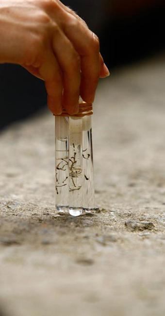 A pesquisadores introduziram no Aedes aegypti a bactéria Wolbachia - Foto: Fernando Vivas   Ag. A TARDE