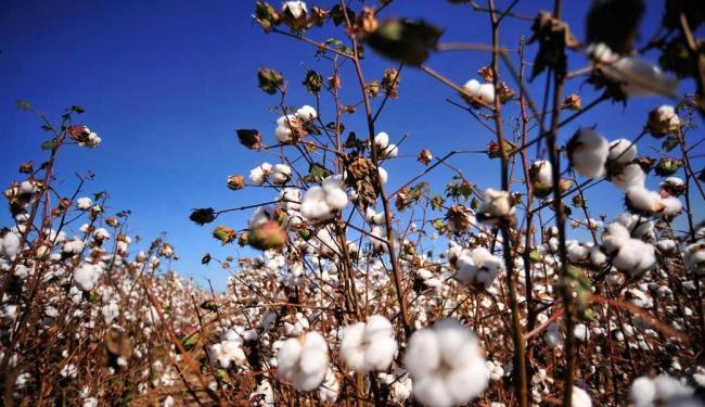 Algodão é um dos produtos comercializados no exterior - Foto: Divulgação | Abapa
