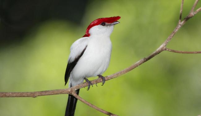 Acima, o Soldadinho-do-araripe, pássaro do nordeste brasileiro - Foto: Reuters