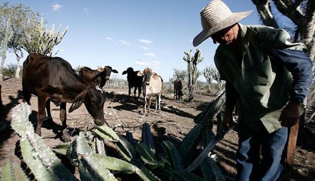 Com a seca, criadores de gado preparam cactos para o rebanho - Foto: Luiz Tito   Ag. A TARDE