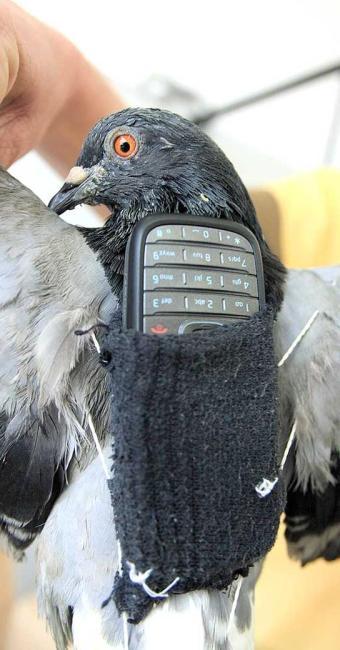 Em 2009, um agente da Penitenciária II de Sorocaba (SP) capturou um pombo que carregava um celular - Foto: Assis Cavalcante | Agência Bom Dia/AE