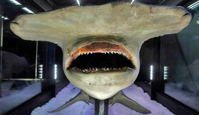 Tubarão-martelo é uma das cinco espécies em extinção que serão protegidas - Foto: Agência Reuters