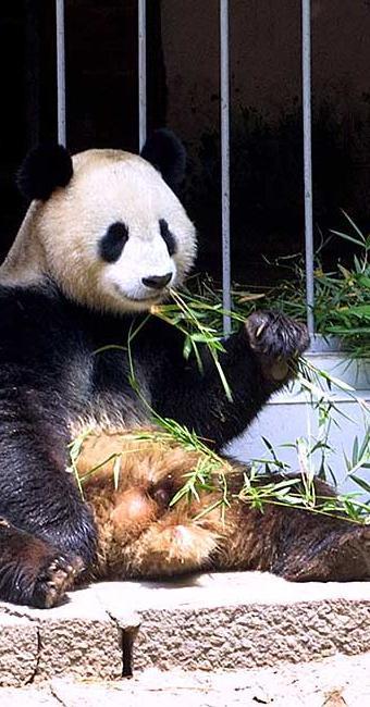 Estudo indica que cultivo de videiras se dará em áreas mais frias, habitadas por pandas - Foto: Arquivo   AP Photo