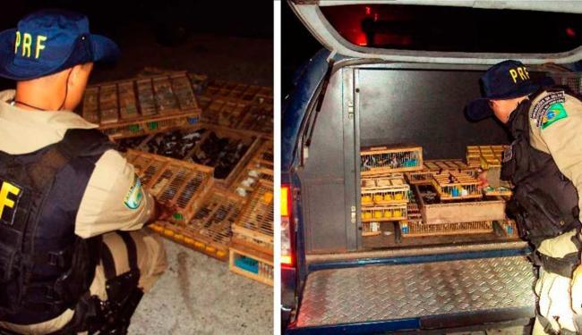 Aves estavam no porta-malas e nos assentos traseiros de um carro - Foto: Divulgação   PRF