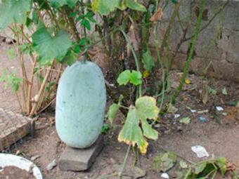 Pepino pesa cerca de 13 kg - Foto: Tito Notícias