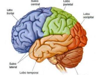Cérebro tem dois tipos de células nervosas com reações diferentes a um derrame - Foto: Divulgação