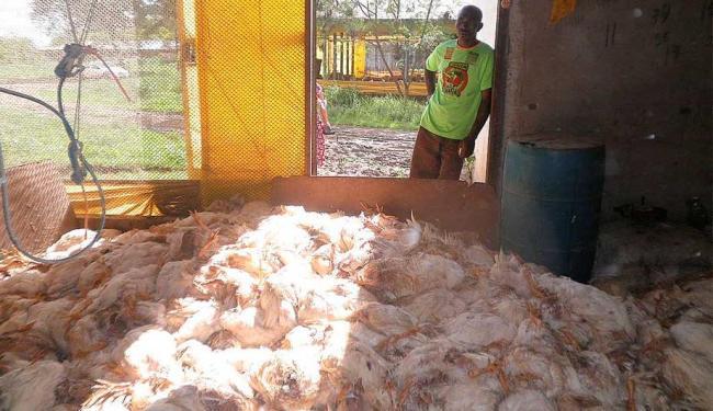 Granja atribui à Coelba a responsabilidade pela morte das aves - Foto: Mariza Muniz | Divulgação