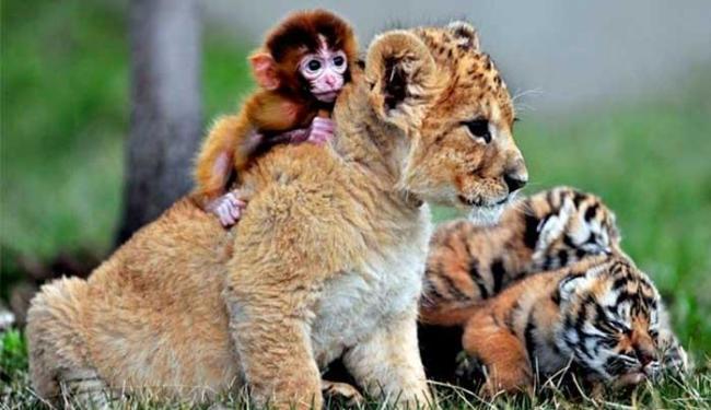 Macaco e leão convivem tranquilamente no mesmo espaço - Foto: Agência Reuters