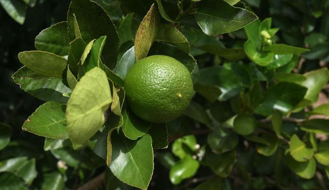 Limão ajuda a reduzir compulsão por doces - Foto: Luciano da Matta   Ag. A TARDE