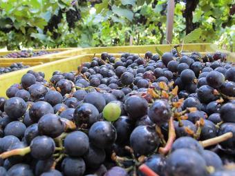Uvas de casca escura são as mais saudáveis - Foto: Agência A TARDE