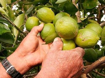 Brasil é o maior produtor de limão do mundo - Foto: Joá Souza   Ag. A TARDE