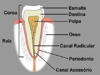 Dente criado por cientistas apresentava partes similares a um dente natural - Foto: Reprodução | USP