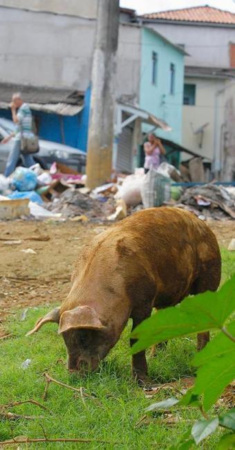 Porco solto em terreno da Vila São Roque, em Campinas de Pirajá, alimenta-se de lixo - Foto: Joá Souza | Ag. A TARDE