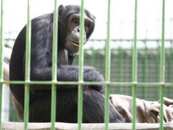 Quatro macacos participarão do teste piloto - Foto: Reprodução