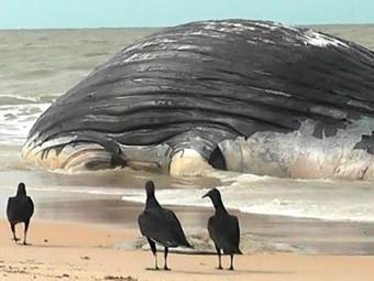 Baleia encalhou no último sábado no litoral baiano - Foto: Reprodução | Primeiro Jornal