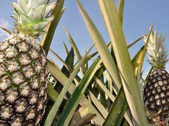 Consumo de abacaxi também é indicado para quem tem varizes - Foto: Juliano Ribeiro   Seagro-TO