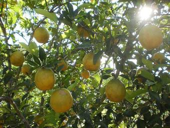 Frutas cítricas como a laranja são indicadas contra trombose - Foto: Coopealnor | Divulgação