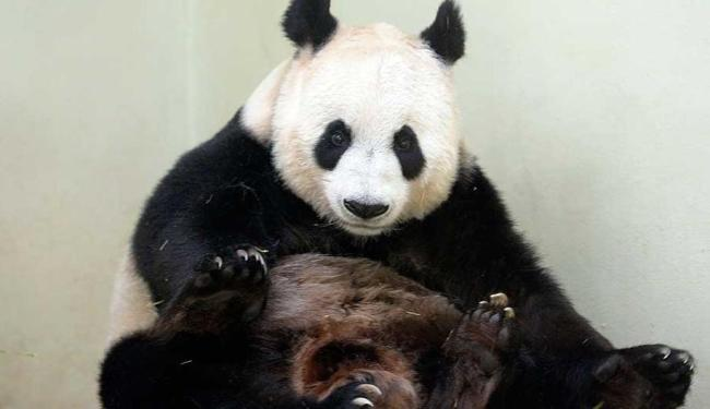 Panda gigante Tian Tian nasceu em 2003 e chegou há dois anos à Escócia - Foto: Agência Reuters