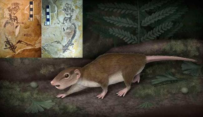 Mamífero pertenceu a uma nova espécie, denominada Rugosodon eurasiaticus - Foto: Divulgação