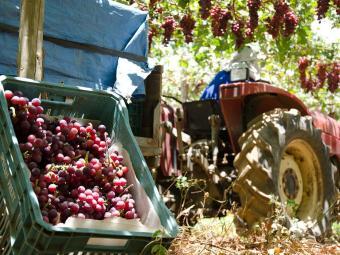Produção de uva em perímetro irrigado na Bahia - Foto: Codevasf | Divulgação