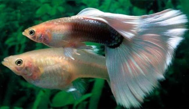 O barrigudinho, também chamado de 'guppy', é conhecido pela cauda em forma de leque - Foto: Reprodução