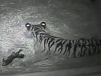 Foi a primeira vez em 17 anos que houve reprodução de tigres no zoo - Foto: Reprodução | BBC
