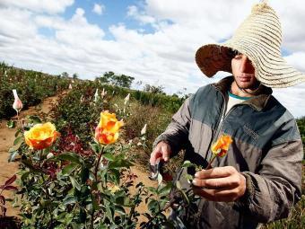 Mais resistentes à seca, até mesmo as rosas foram castigadas pela longa estiagem - Foto: Fernando Vivas | Ag. A TARDE
