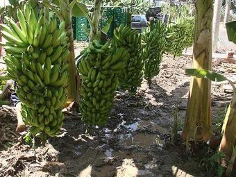 Pacientes em hemodiálise devem evitar alimentos ricos em potássio como banana - Foto: Miriam Hermes   Ag. A TARDE