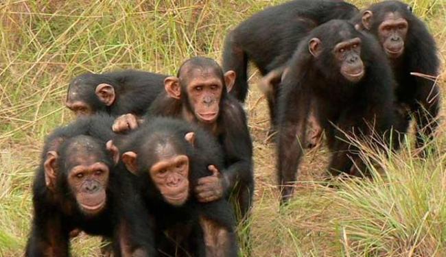 Macacos possuem o DNA semelhante ao dos humanos - Foto: Divulgação
