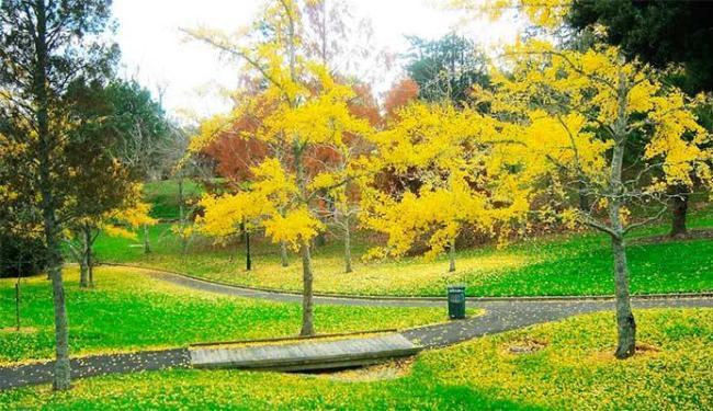 Raízes das árvores absorvem o ouro e folhas são atingidas pelo metal - Foto: Divulgação