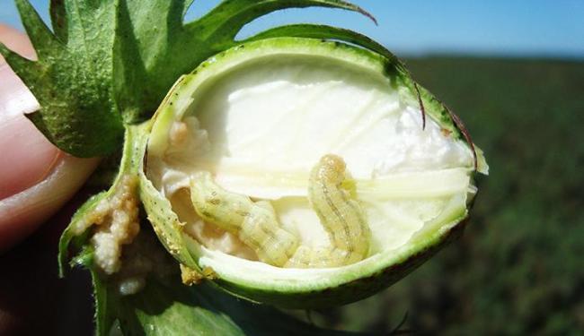 Lagarta causa prejuízo principalmente às lavouras de milho, soja e algodão - Foto: Divulgação | Abapa