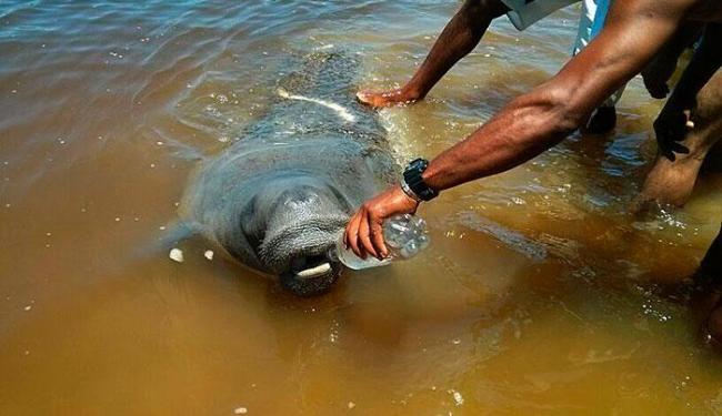 Espécie é a mais ameaçada no Brasil entre os mamíferos aquáticos - Foto: Diego Potapczuk   Foto do leitor