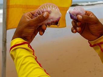 O acidente acontece quando se tem contato com o veneno do animal, presente nos tentáculos - Foto: Fernando Amorim | Ag. A TARDE