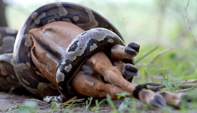 A cobra levou 45 minutos para engolir o mamífero - Foto: Reprodução