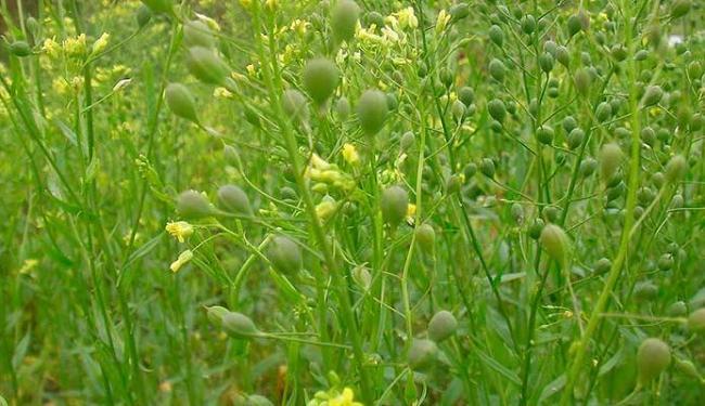 Planta camelina iria produzir dois importantes ácidos-graxos ômega-3 contidos no óleo - Foto: Divulgação