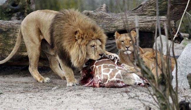 Após ser sacrificado, filhote de girafa foi devorado pelos leões do zoológico - Foto: Pedersen Rasmus Flindt | AP Photo