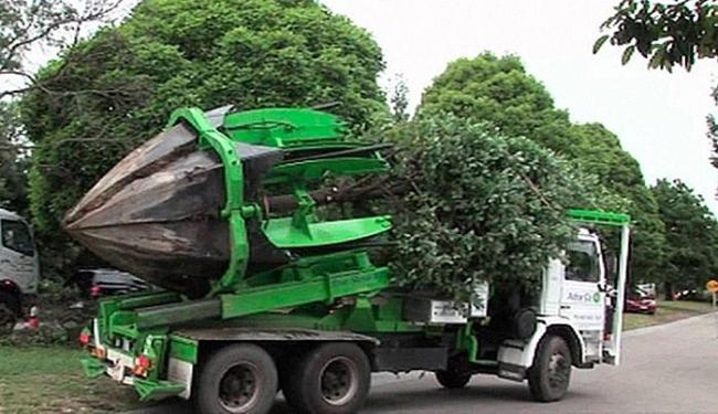 Caminhão leva árvore de um lugar a outro sem cortar suas raízes - Foto: Reprodução