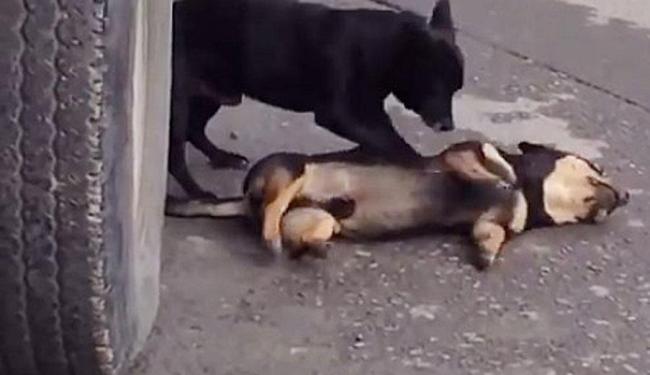 Cão usa as patas para reanimar o que foi atropelado - Foto: Reprodução