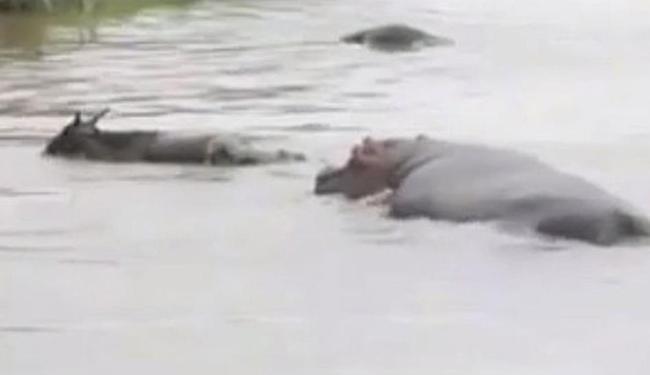 Crocodilo pega o antílope embaixo d'água, mas é afastado por hipopótamo - Foto: Reprodução