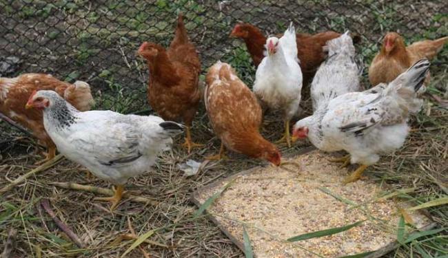 Resultado de imagem para roubar galinhas