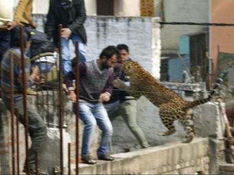 Espécie ficou conhecida como leopardo