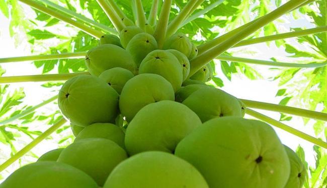 A Bahia é o maior produtor do fruto no País - Foto: Carlos Alberto de Oliveira | Divulgação