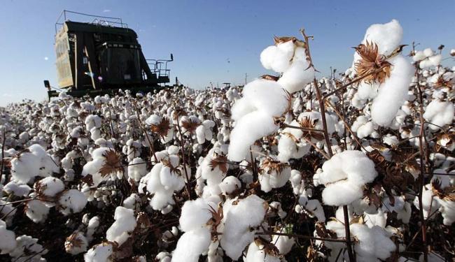 Produção de algodão no oeste da Bahia: setor agropecuário do estado cresceu 17% no primeiro trimestr - Foto: Carlos Casaes | Ag. A TARDE