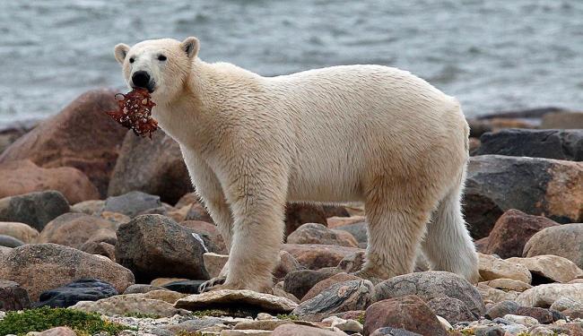 Urso comem gordura mas não têm doenças cardíacas da mesma forma que os humanos - Foto: Agência Reuters