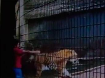 O tigre Hu, de 8 meses, foi colocado em uma área de isolamento após o ataque - Foto: Reprodução   YouTube