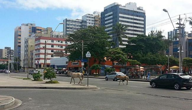 Animais atravessaram a pista e seguiram em direção ao Rio Vermelho - Foto: Christyans Mendes | Cidadão Repórter