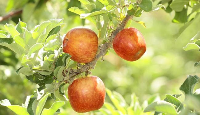 Resultado de imagem para maçã do vale do sao francisco