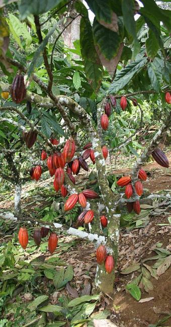 A produtividade na Bahia é de 20 arrobas por hectare - Foto: Diego Mascarenhas | Ag. A TARDE | 1º.12.2008